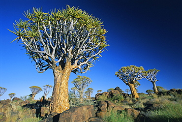 Quivertrees (kokerbooms) in the Quivertree Forest (Kokerboomwoud), near Keetmanshoop, Namibia, Africa
