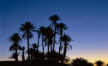 Palm trees in silhouette at dawn, on edge of Sahara Desert near Morocco, North Africa