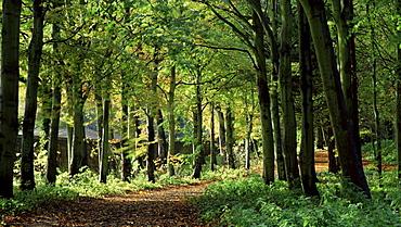 Beech woodland, Alnwick Garden, Alnwick, Northumberland, England, United Kingdom, Europe