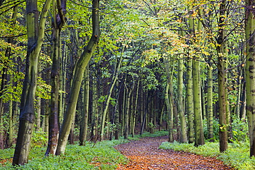 Leaf-covered path through beech woodland in autumn, Alnwick, Northumberland, England, United Kingdom, Europe
