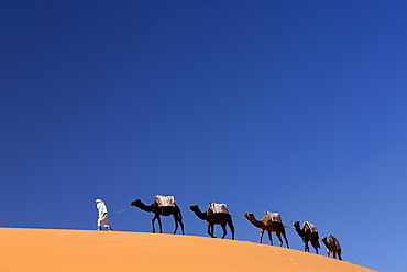 Berber man leading a train of camels over the orange sand dunes of the Erg Chebbi sand sea, Sahara Desert near Merzouga, Morocco, North Africa, Africa