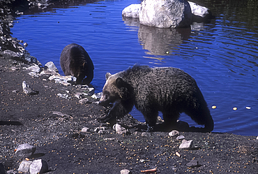 Orphaned grizzly bear cubs Grinder (foreground) and Coola, Refuge for Endangered Wildlife, Grouse Mountain, Vancouver, British Columbia, Canada *** Local Caption ***