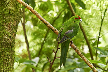 A friendly Red-crowned parakeet in thick bush near Otorohanga, Waikato region, North Island, New Zealand, Pacific