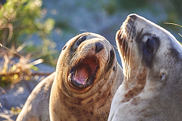 Juvenile New Zealand sea lions (Hooker's sea lions) play in dunes at Allans Beach, Otago Peninsula, Otago, South Island, New Zealand, Pacific