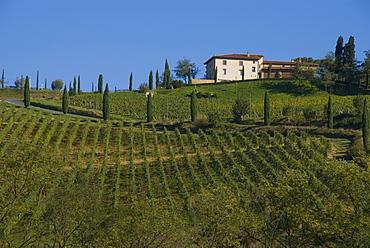 Vineyards at Lucignano, Tuscany, Italy, Europe