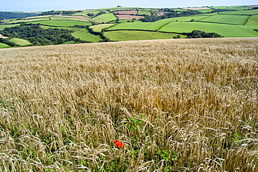 Poppies grow amongst barley in a River Dart valley agricultural landscape, Devon, England, United Kingdom, Europe