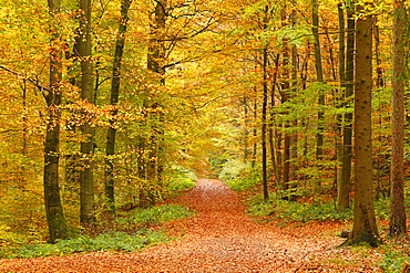Autumnal forest near Kastel-Staadt, Rhineland-Palatinate, Germany, Europe