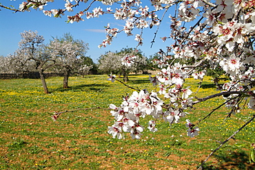 Almond blossom time, Majorca, Balearic Islands, Spain, Europe