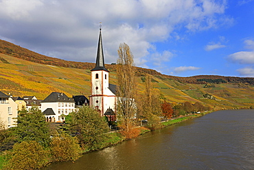 Vineyards and church near Piesport, Moselle Valley, Rhineland-Palatinate, Germany, Europe