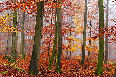 Autumnal forest, Kastel-Staadt, Rhineland-Palatinate (Rheinland-Pfalz), Germany, Europe