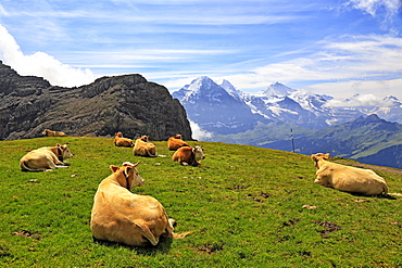 Cows at Faulhorn, Grindelwald, Bernese Oberland, Switzerland, Europe