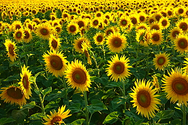 Sunflowers, near Chalabre, Aude, France, Europe
