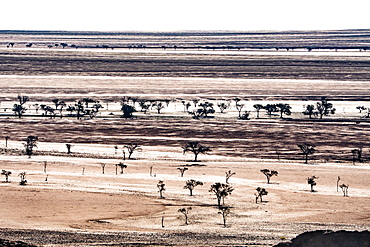 Layered landscape of plains punctuated by silhouetted dark trees, south of Walvis Bay, Namibia, Africa