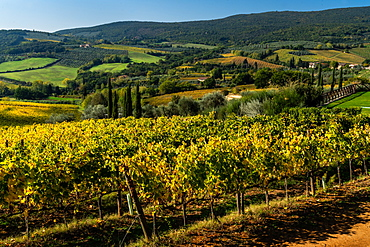Aerial view across the green valley of vineyards, as autumn beckons, outside San Gimignano, Tuscany, Italy, Europe