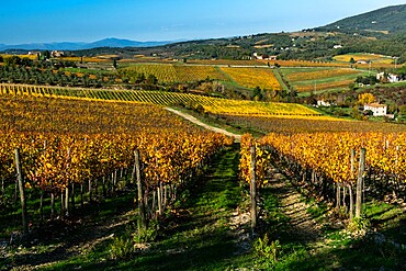Vineyards in Autumnal colours against a dramatic sky with olive trees behind, Greve in Chianti, Tuscany, Italy