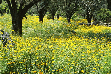 Wild flowers in olive grove, Lesbos (Lesvos) island, Greece, Europe