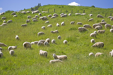 Ewes and lambs, North Island, New Zealand, Pacific