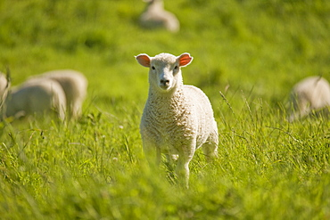 Lamb, North Island, New Zealand, Pacific