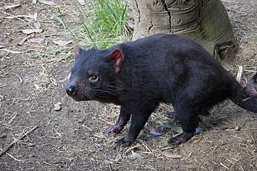 Tasmanian Devil, Tasmania, Australia, Pacific