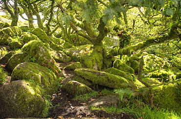 Wistman's Wood, ancient oak woodland, Dartmoor, Devon, England, United Kingdom, Europe