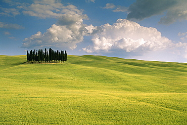 Group of cypress trees, Val d'Orcia, UNESCO World Heritage Site, Siena Province, Tuscany, Italy, Europe