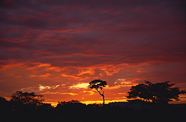 Silhouette of African trees at sunrise, Uganda, East Africa, Africa