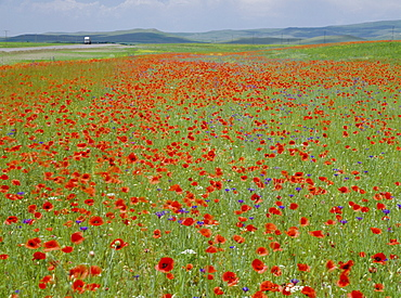 Spring flowers in May, Central Anatolia, Turkey, Asia Minor, Asia