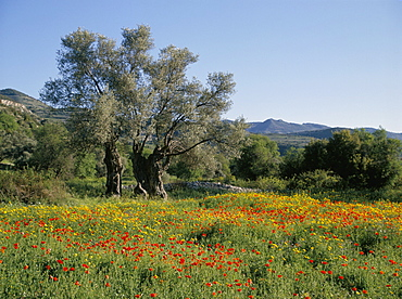 Spring flowers and olive trees on lower Troodos slopes near Arsos, Cyprus, Europe