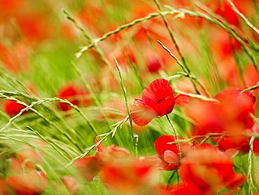 Poppy field, Figueres, Girona, Catalonia, Spain, Europe
