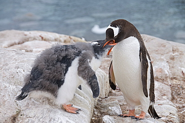 Gentoo penguin feeding chick, Neko Harbour, Antarctic Peninsula, Antarctica, Polar Regions