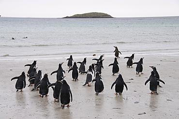 Gentoo penguins, Carcass Island, Falkland Islands, South America