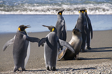 King penguins and fur seal, Moltke Harbour, Royal Bay, South Georgia, South Atlantic