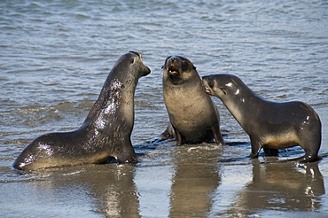 Fur seals, Moltke Harbour, Royal Bay, South Georgia, South Atlantic