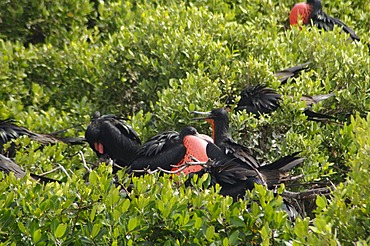 World's largest colony of Frigate Birds (Fregata magnificens) in the lagoon, Barbuda, Antigua and Barbuda, Leeward Islands, West Indies, Caribbean, Central America