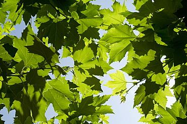 Vines near Saint Jean Pied de Port, Basque country, Pyrenees-Atlantiques, Aquitaine, France, Europe