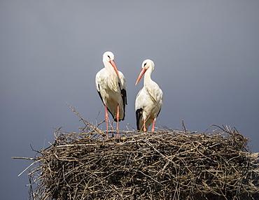 Pair of white storks on nest, Silves, Algarve, Portugal, Europe