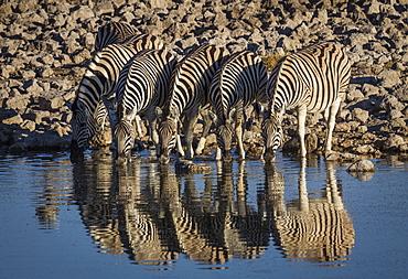 Burchells Zebra (Equus burchelli) drinking at waterhole, Okakeujo Camp, Etosha National Park, Namibia, Africa
