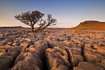 Tree growing through the limestone of White Scars at sunset, Ingleton, Yorkshire Dales National Park, England, United Kingdom