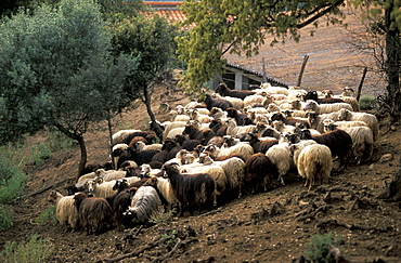 France, Corsica Island, Corse-Du-Sud, Propriano, J, C, Mondalini Pigs & Corsican Sheep Grower, Herd Of Ewes Returning At Dusk