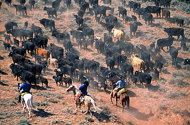 Usa, South West, Wyoming, Big Horn Mountains, Aerial Of Cowboys Herding A Cattle Drive At Fall