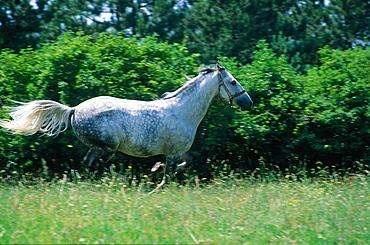 Slovenia, Lipizzan Studfarm, Lipizzaner White Horse Galloping