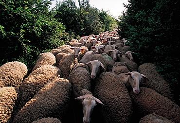 France, Aveyron, Roquefort Area, Herd Of Lacaune Ewes