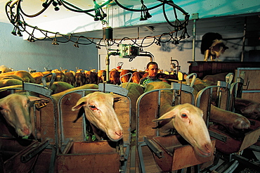 France, Aveyron, Roquefort Arera, Milking Of Ewes