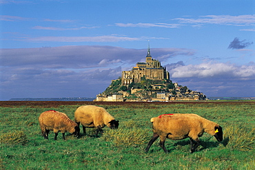 Mt St Michel & Sheep Grazing, Normandy, France