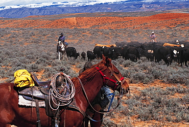 Cow-Boys On Cattle Drive, Wyoming, Usa