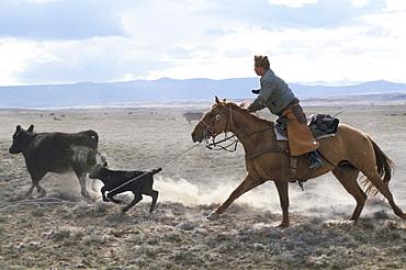 Lassooing calf, Wyoming, United States of America, North America