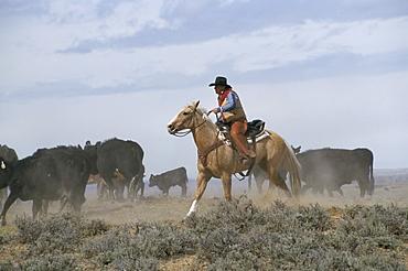 Calf tagging, Wyoming, United States of America, North America