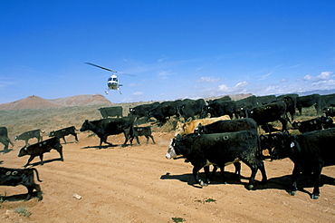 Cattle drive with helicopter, Wyoming, United States of America, North America