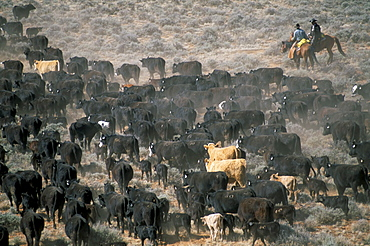 Aerial view of cattle drive, Wyoming, United States of America, North America