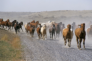 Horses, Mantles' Ranch, Wyoming, United States of America, North America